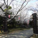大山緑地公園の千本桜