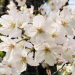 大山緑地公園の千本桜 今が満開で見ごろです (^o^)/