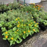 南部プラザ周辺美化活動に使う花をふるふるで育てていますよ (^o^)/