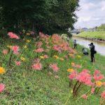 稗田川に彼岸花が綺麗に咲いていますよ 高取まちづくり協議会さんが植えられましたよ (^o^)/