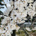 いよいよ春ですね!!高取の専修坊さんの「しだれ桜」が満開の時期を迎えていますよ (^o^)/