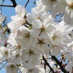 大山緑地公園の千本桜 この週末から見頃を向かえそうですね。