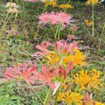 稗田川沿いの彼岸花が綺麗に咲き揃はじめましたよ (^o^)/